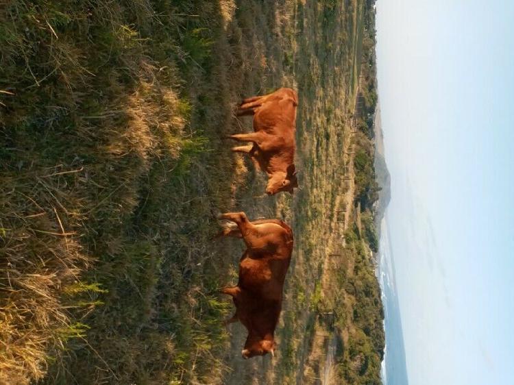 2 beefmaster heifers in east london