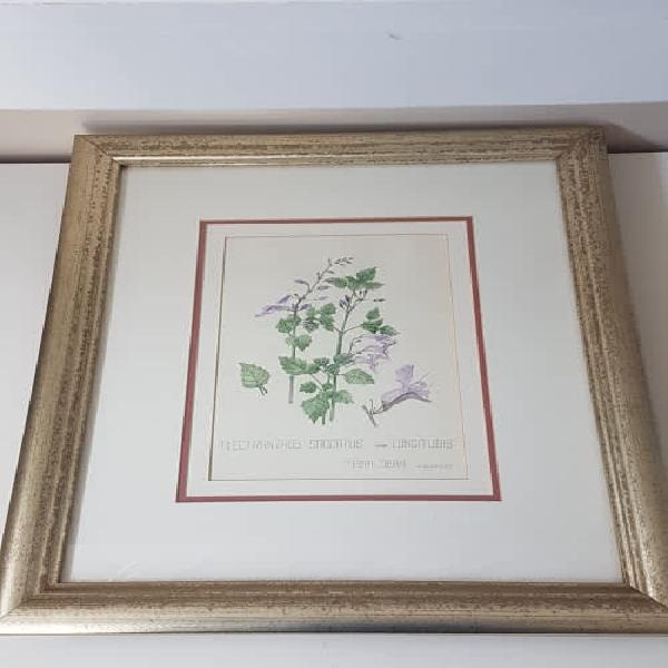 Original botanical watercolour by tessa dean. plectranthus