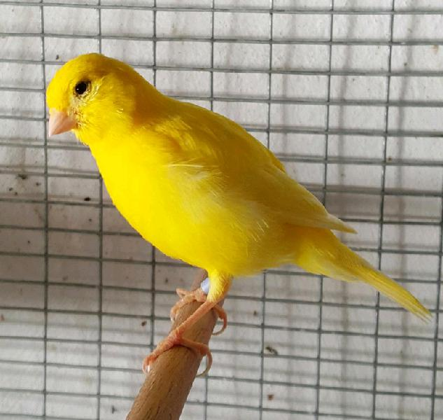 Canaries available