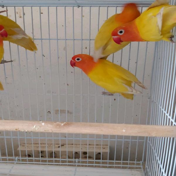 Tame lovebirds now available