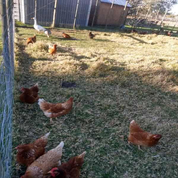Point of lay lohmann brown hens