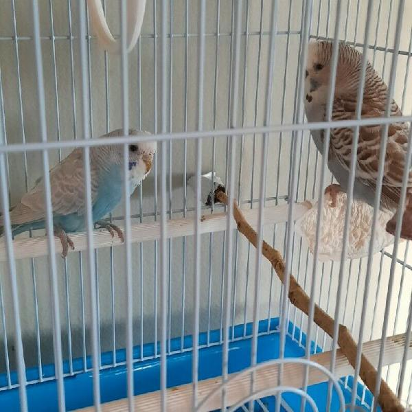 Budgies - ad posted by anne-lise bollaert-davies