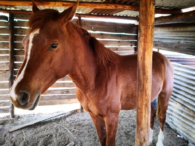 Arab horses for sale