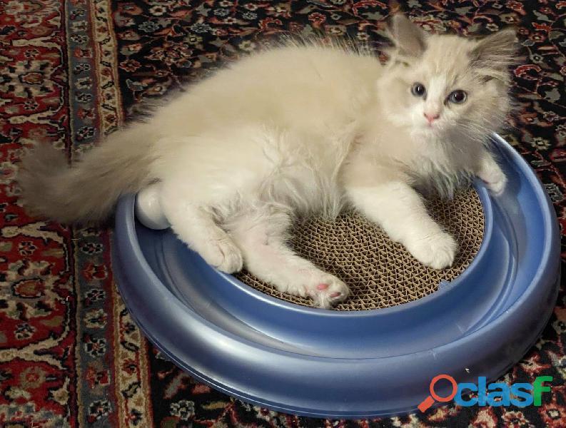 Absolutely precious Ragdoll kittens