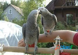 African Grey Parrots Ready for New home
