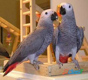 African Grey Parrots Ready for New home 2