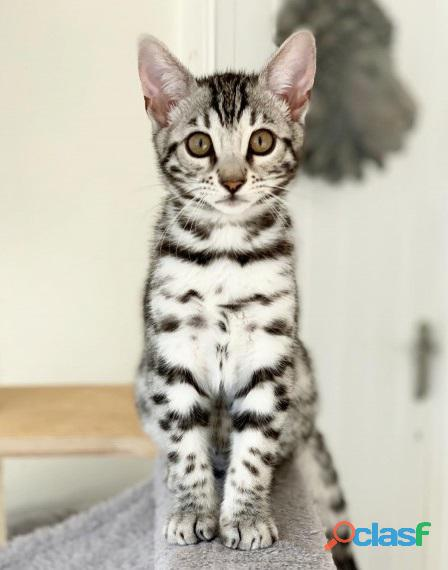 Beautiful 12 week old Bengal kittens born on the 30 August 2021 for sale. 1