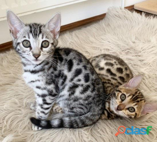 Beautiful 12 week old Bengal kittens born on the 30 August 2021 for sale. 2