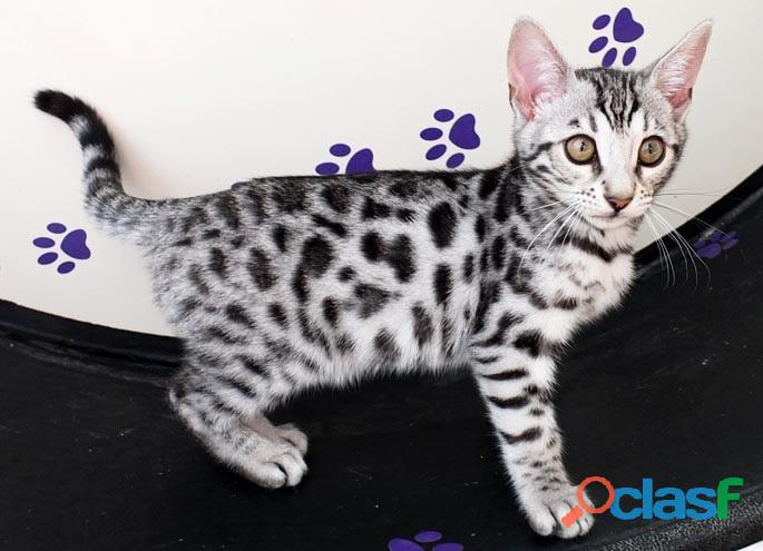 Beautiful 12 week old Bengal kittens born on the 30 August 2021 for sale. 3