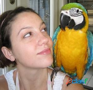 Macaw Parrot for Sale 1