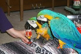 Macaw Parrot for Sale 2