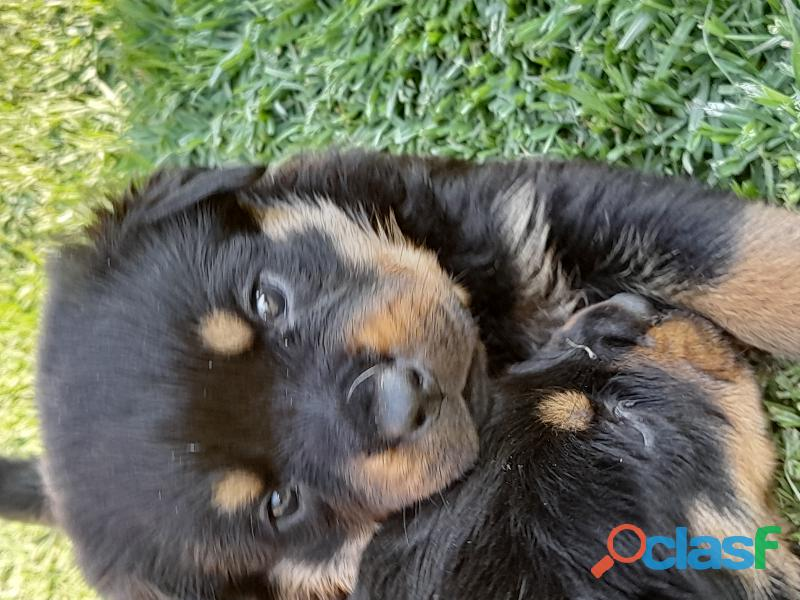 Rottweiler puppies for sale 1