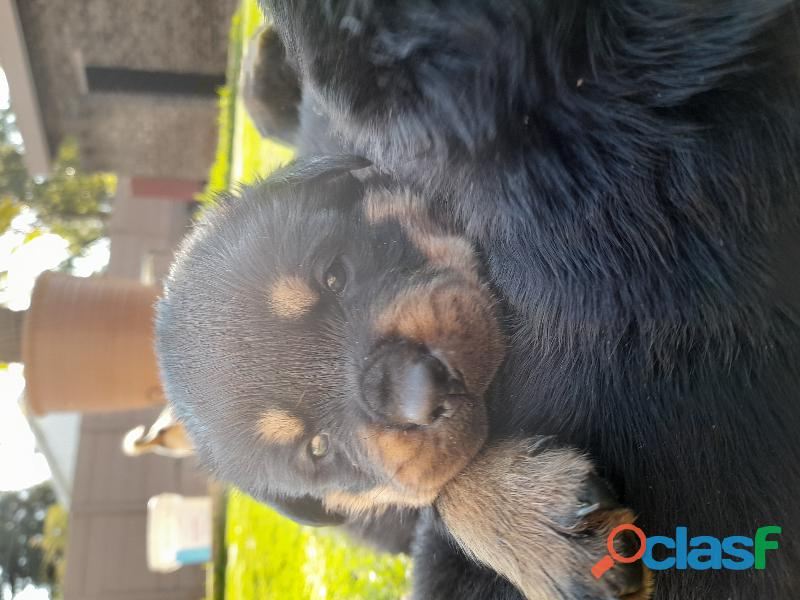 Rottweiler puppies for sale 3