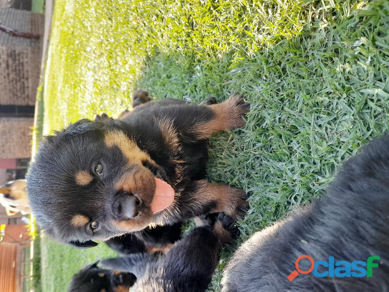 Rottweiler puppies for sale 4