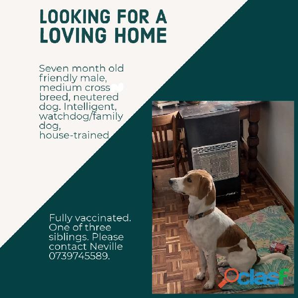 Loving home for 7 month male medium crossbreed