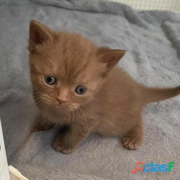 Beautiful Males and females British Short hair registered pedigree kitten.